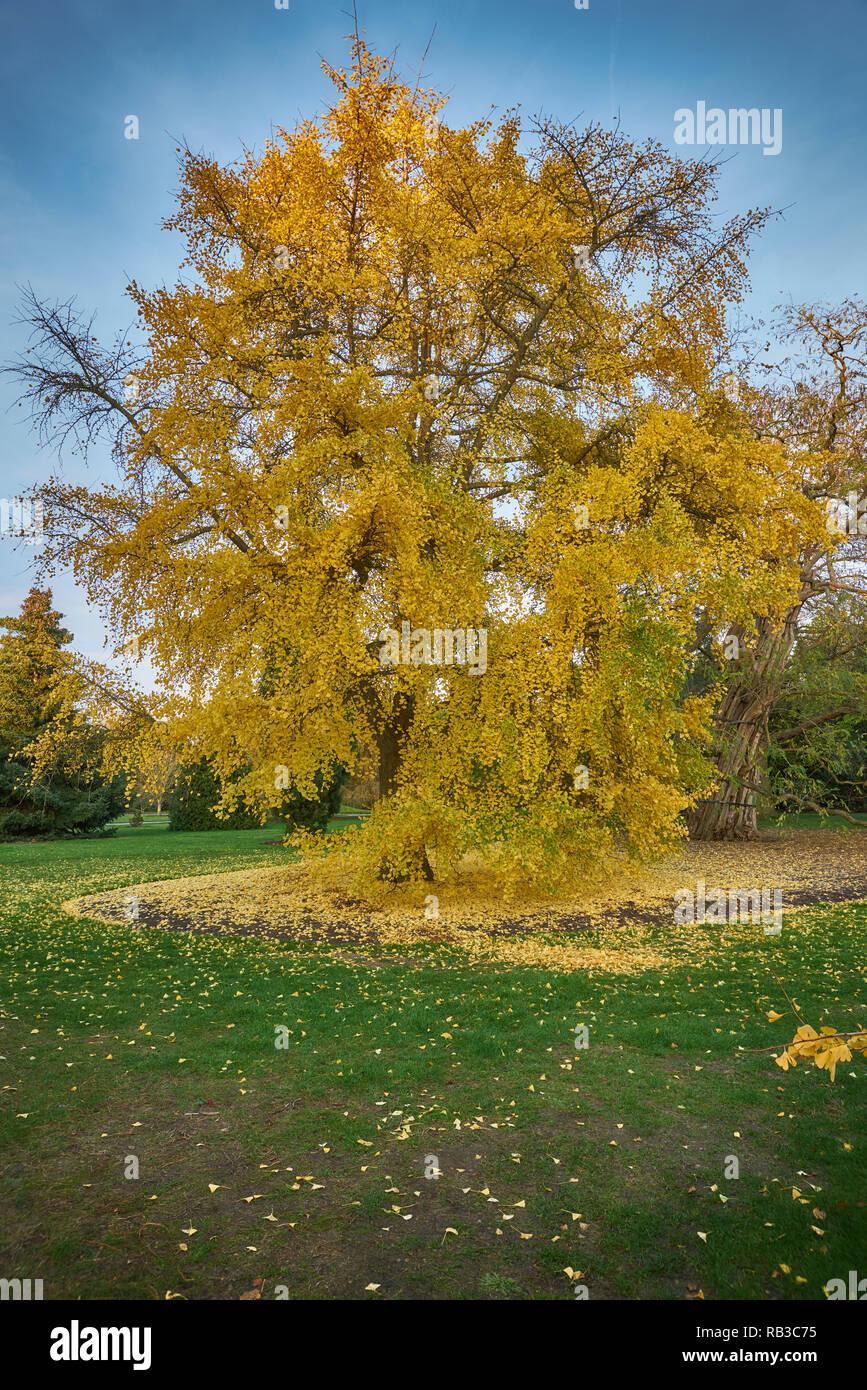 ginko tree kew gardens Stock Photo