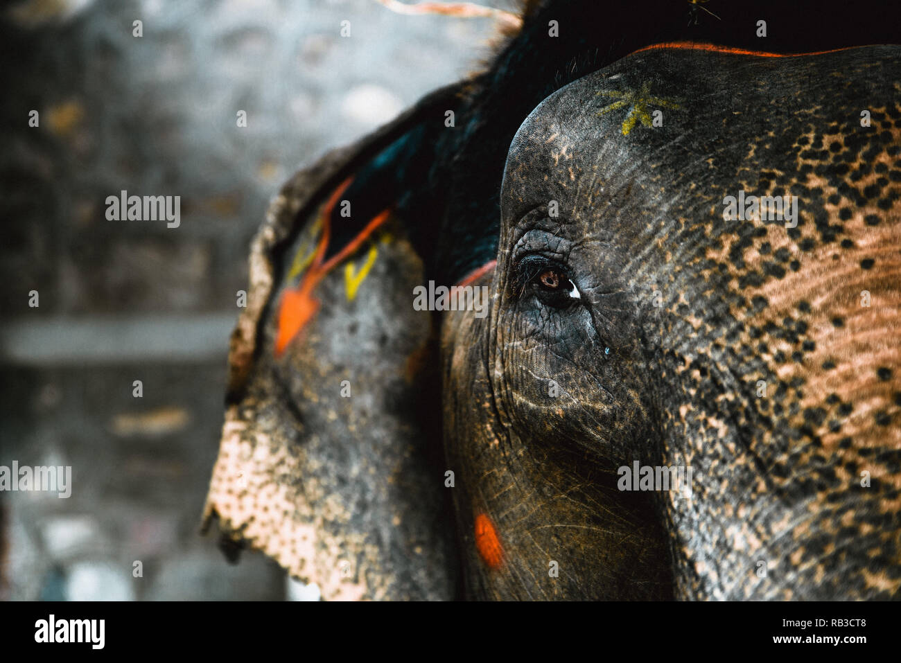 Close-up of an eye of an elephant in captivity in India Jaipur with paintings on elephant skin and a tear running down the elephant's eye - Stock Image