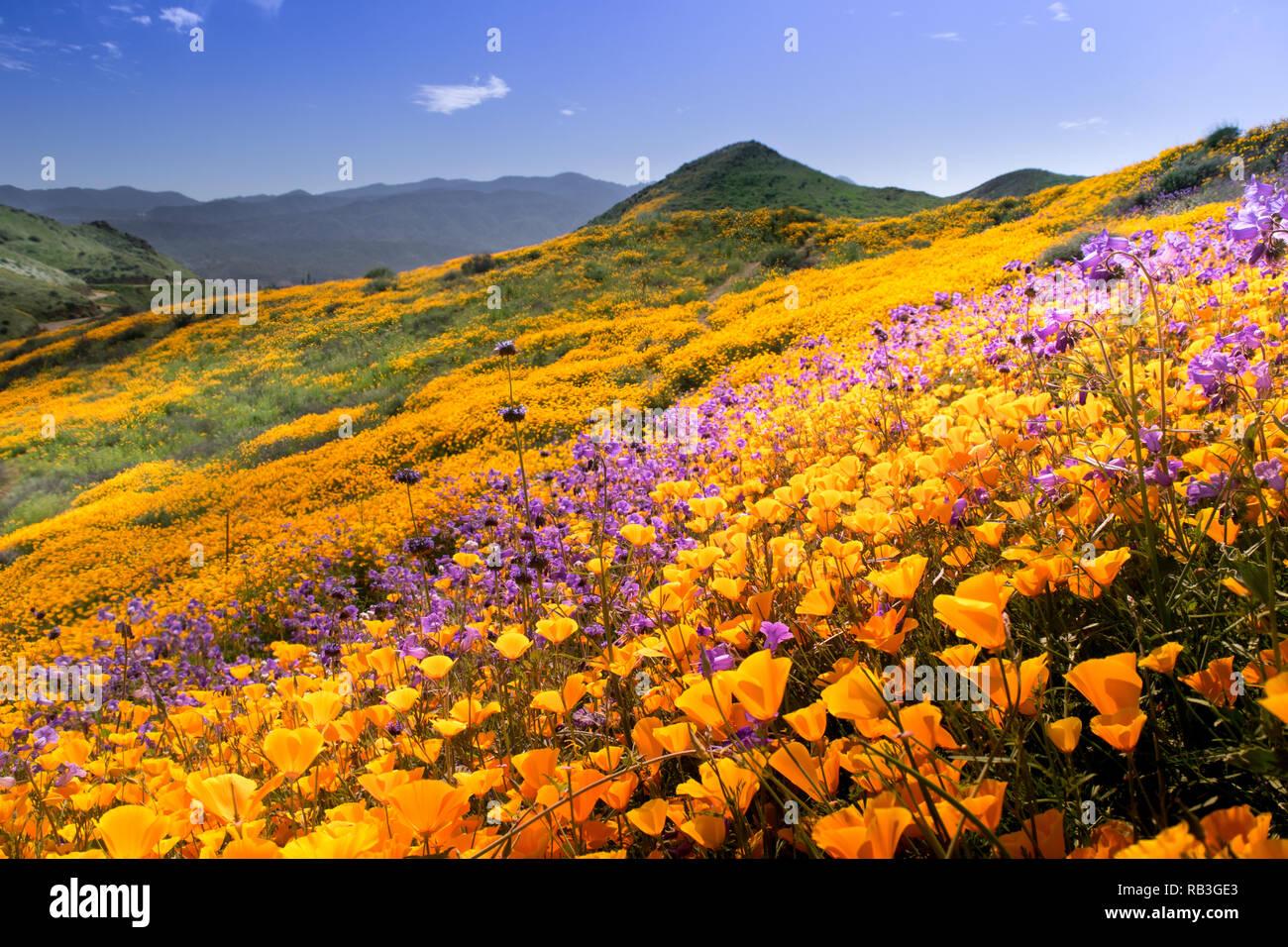 Hillside of California Poppy during 2016 super bloom at Lake Elsinore - Stock Image
