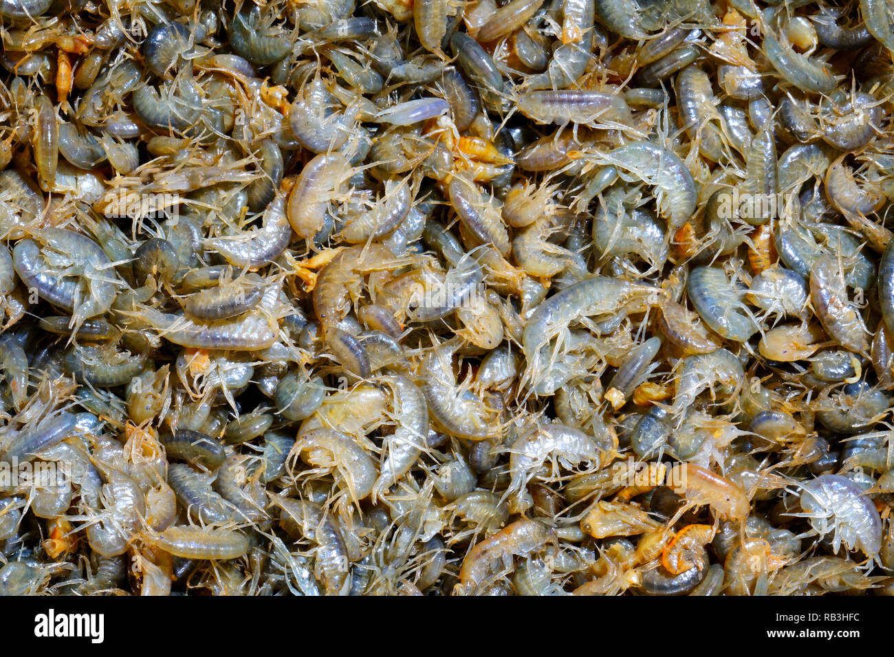 A lot of live crustaceans - amphipods as background. Excellent winter fishing lure - Stock Image