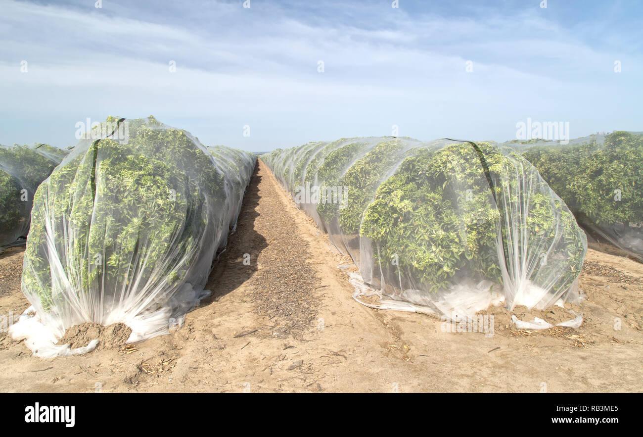 Netting protecting  'Clementine' mandarin orchard against cross-pollination of fruit, Polyethylene fine mesh netting. - Stock Image
