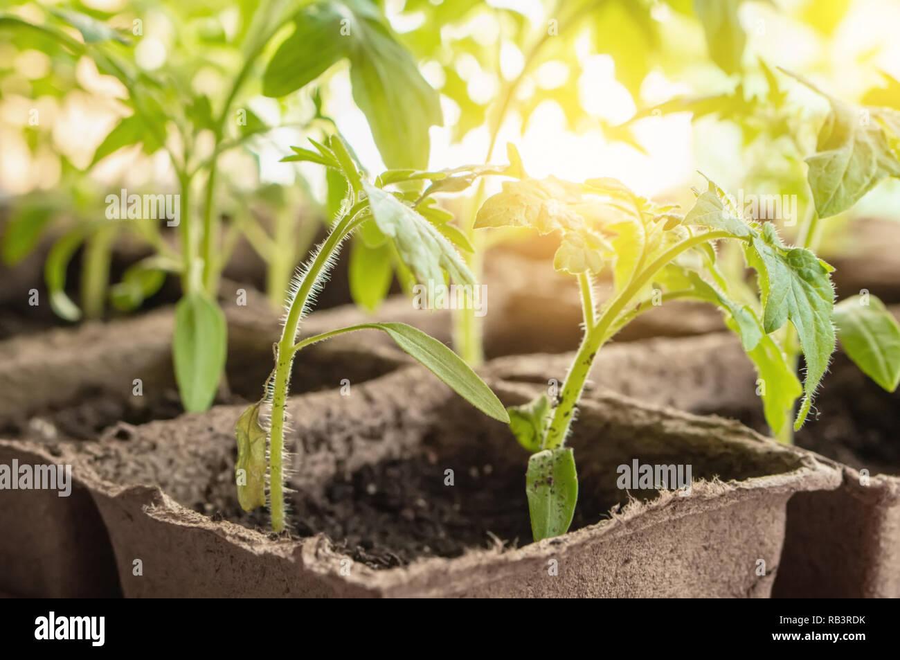 Growing tomato seedlings on the windowsill in peat pots Stock Photo