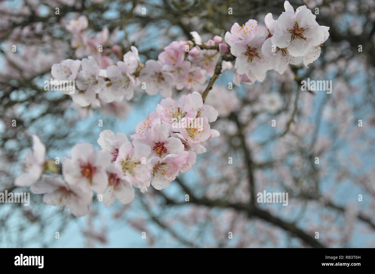 Almond blossoms in the tree crown by jziprian - Stock Image