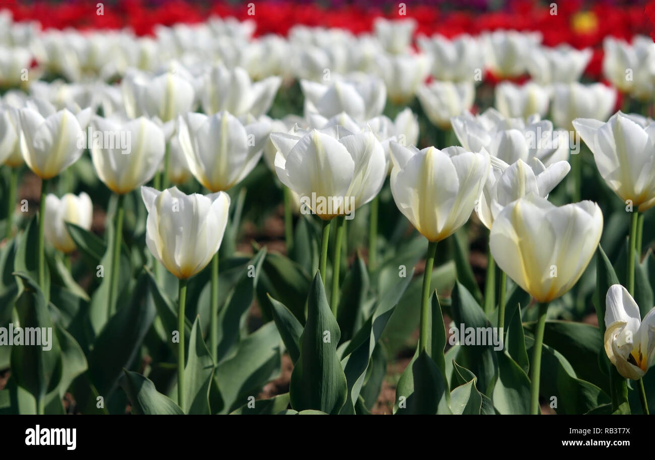 White and red tulips in the garden - Stock Image