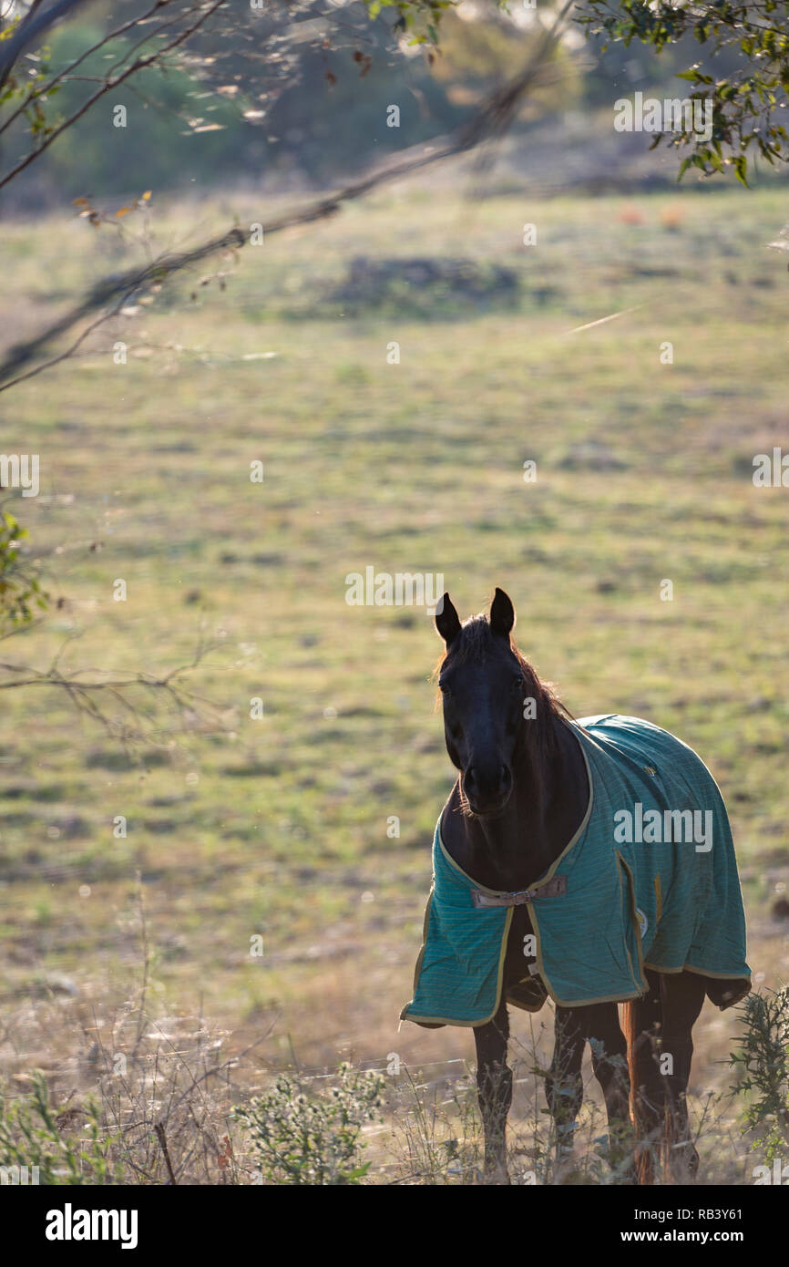 Morning with horse in the field, wearing its coat, with spider web in the foreground - Stock Image
