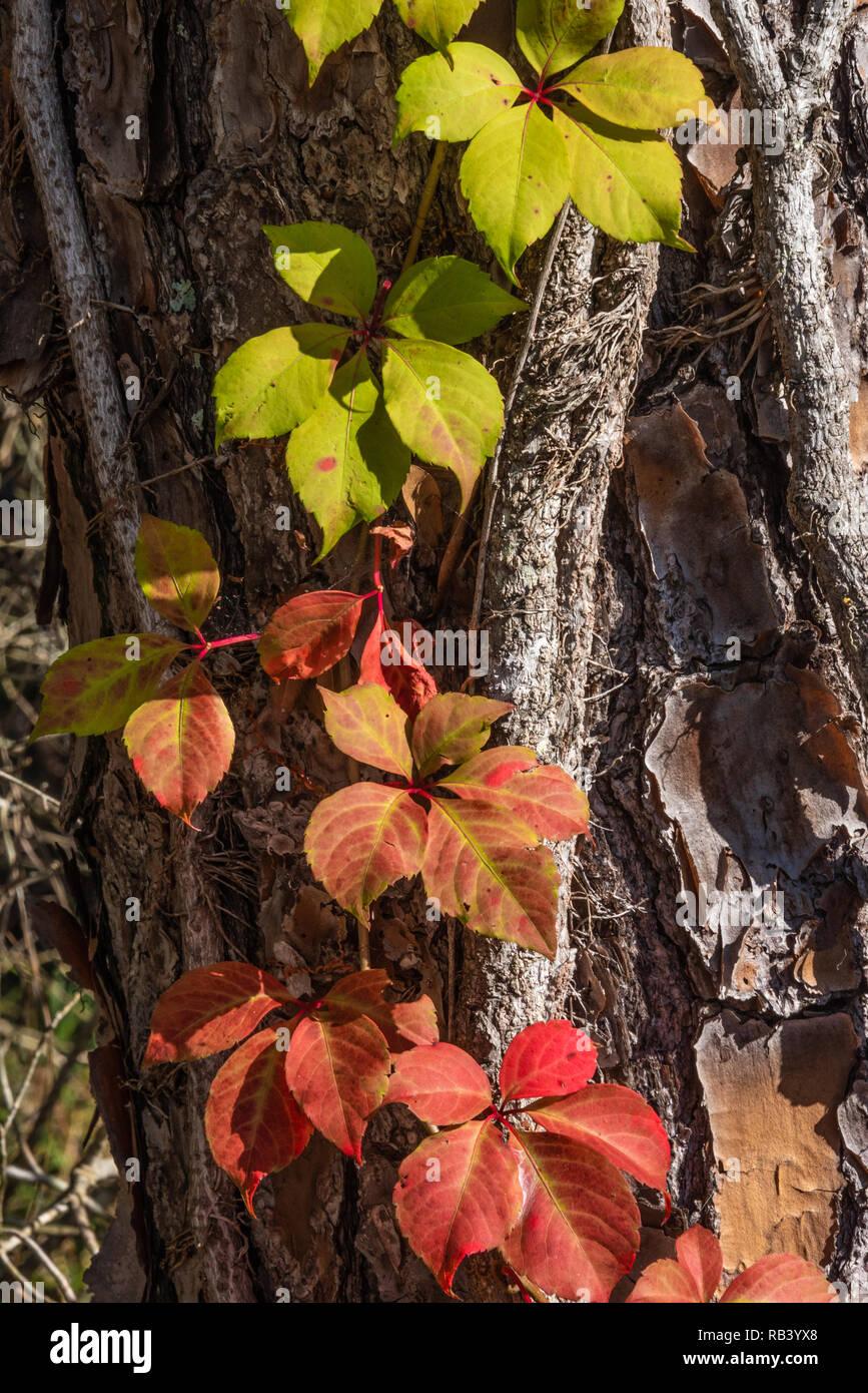 Colorful Virginia Creeper (Parthenocissus quinquefolia) vine climbing a tree trunk in Winter Garden, Florida. (USA) - Stock Image