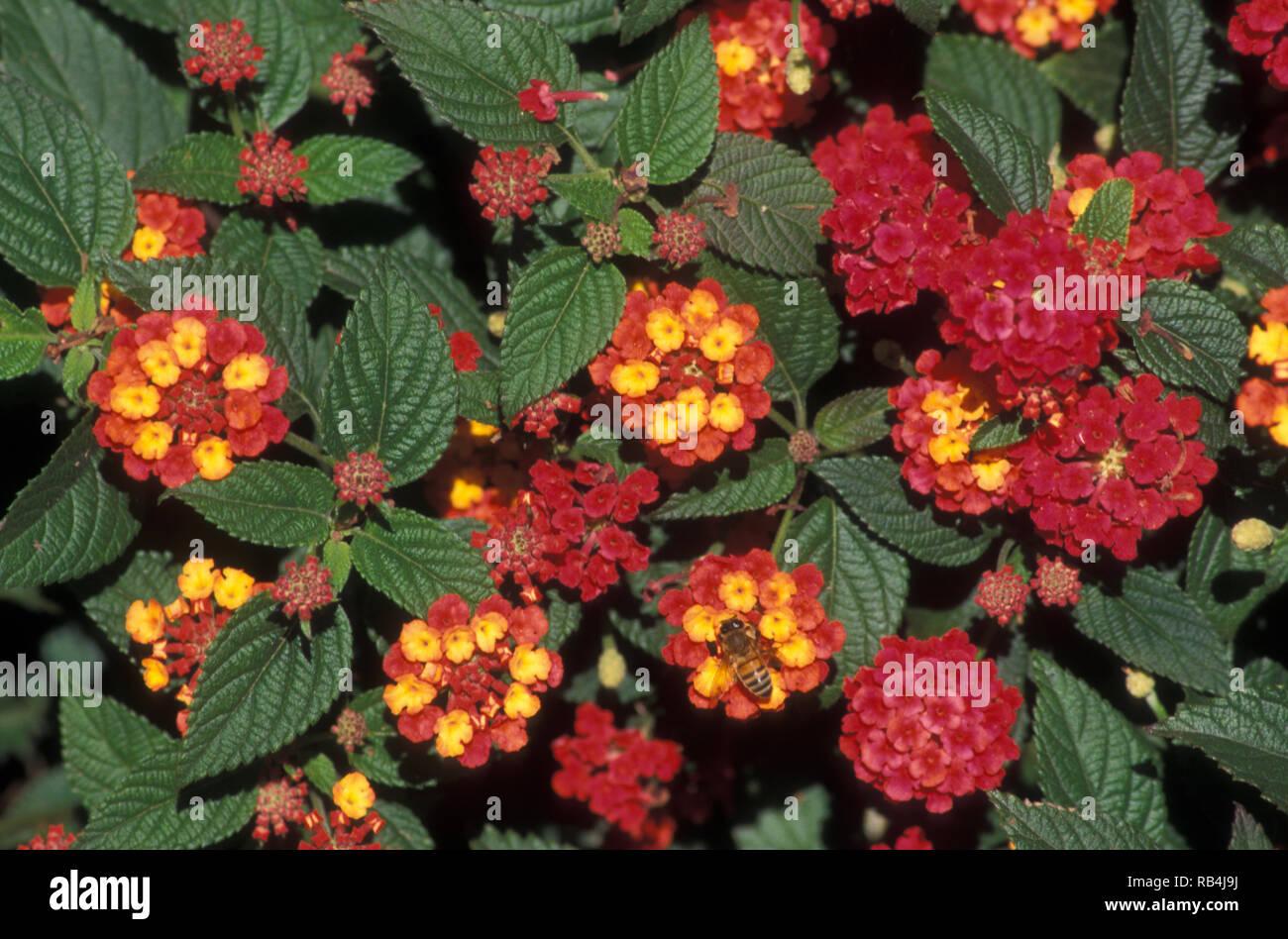 LANTANA CAMARA (COMMON LANTANA) Stock Photo