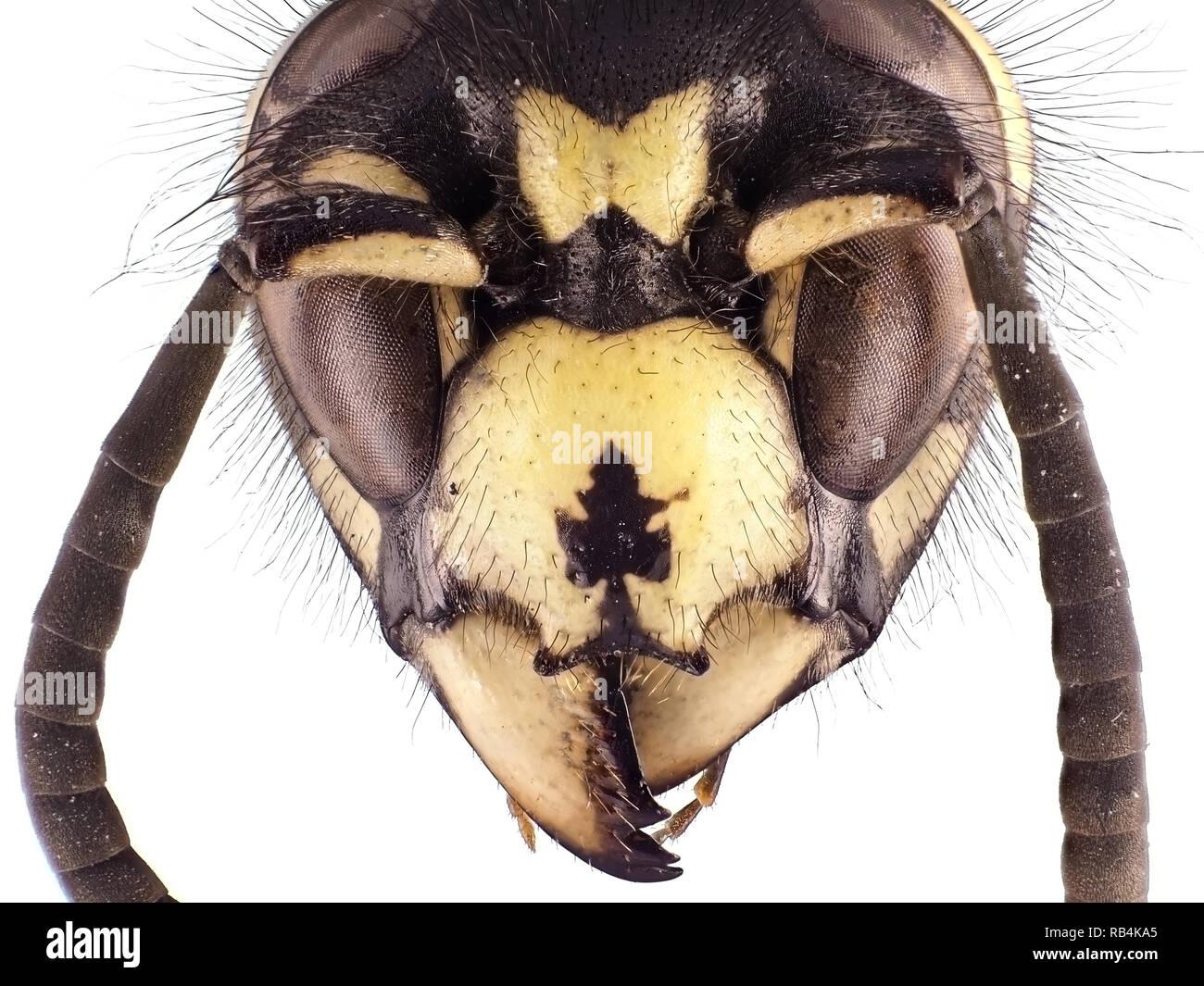 Extreme macro shot (micrograph) of a wasp (Vespula sp.) head - Stock Image