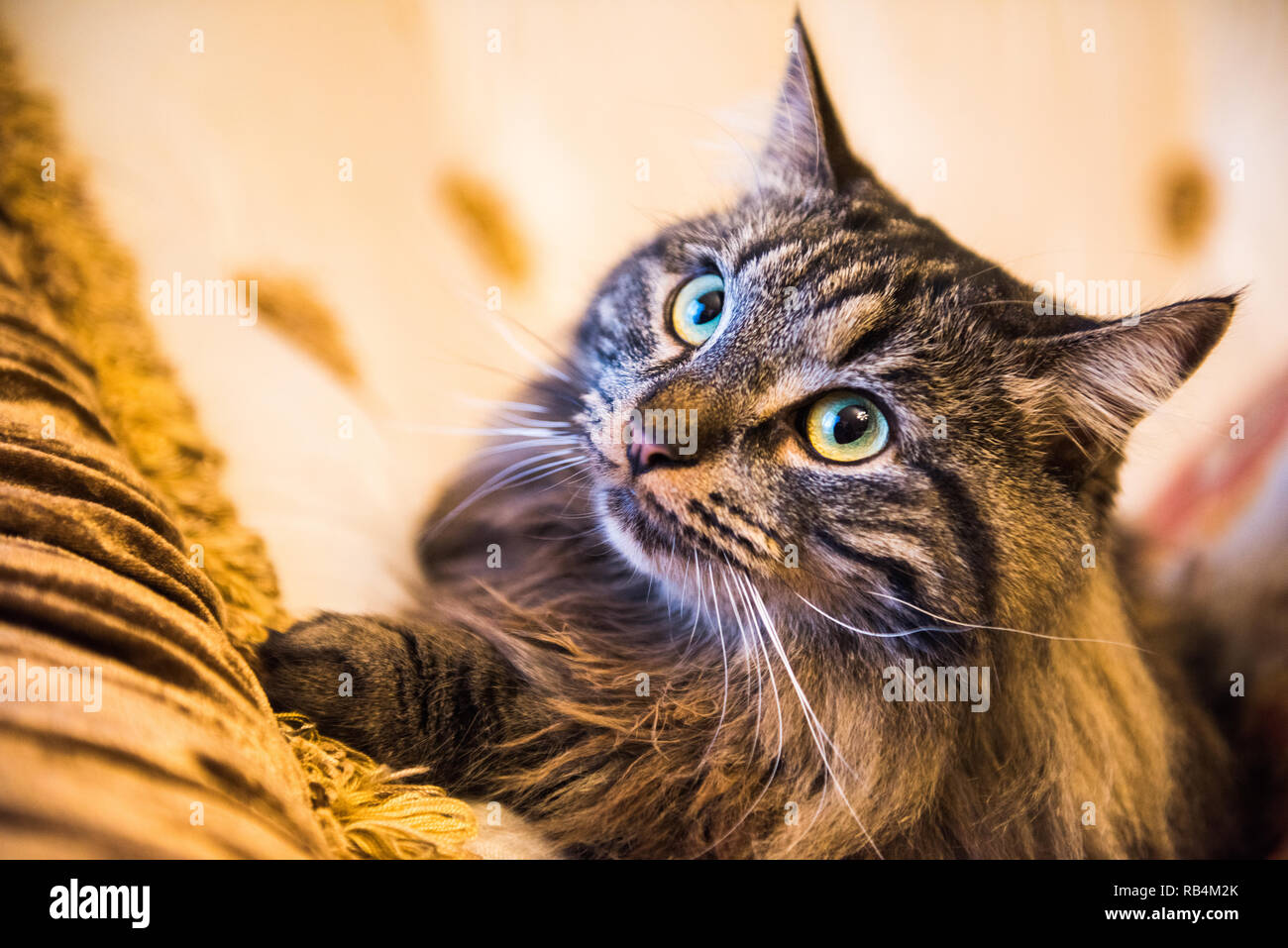 Norwegian forest cat portrait close up with big fluffy muzzle Stock Photo