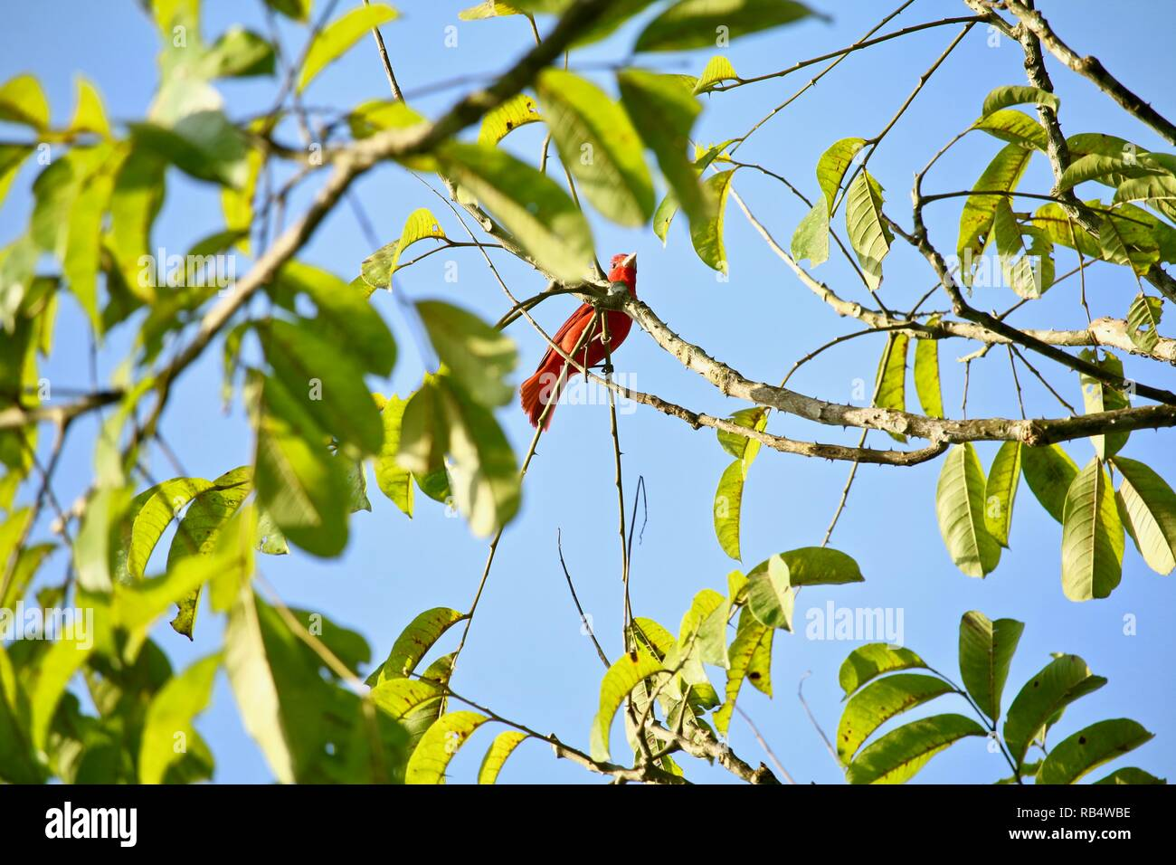 A small red bird amongst light green leaves and a blue sky. - Stock Image