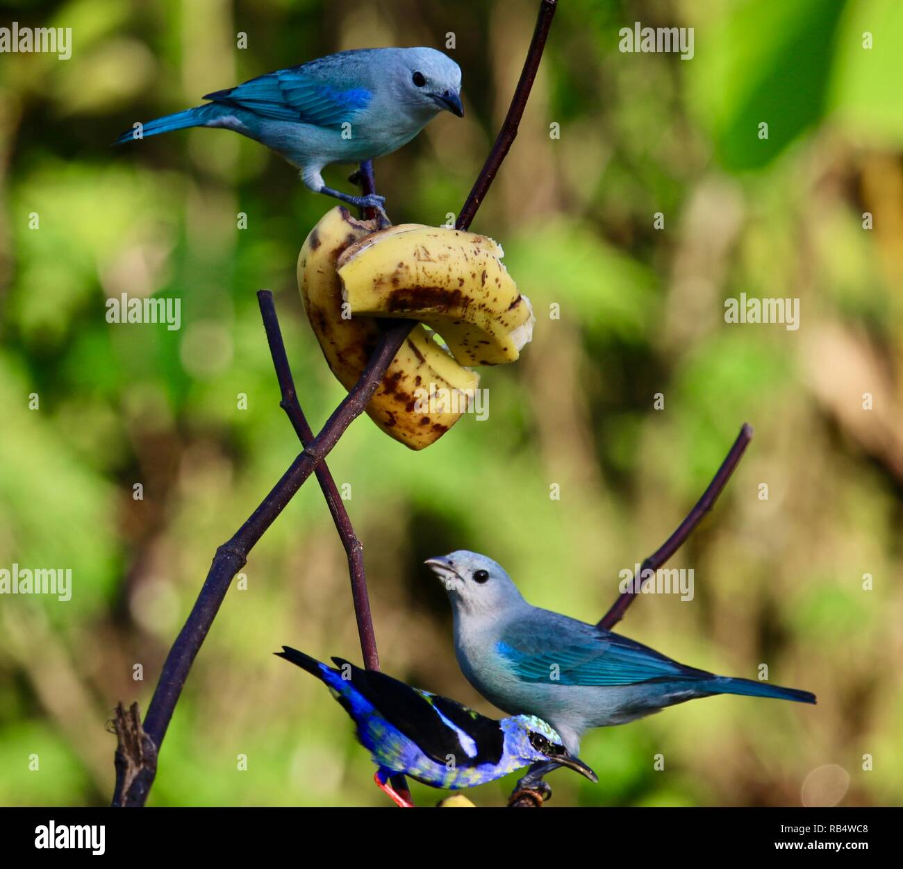 Blue Grey Tanagers enjoying their breakfast in Costa Rica. - Stock Image