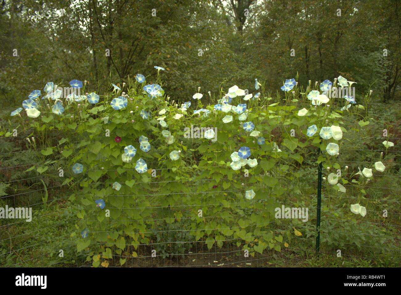 Bi Color Blue And White Morning Glories Climbing A Garden Fence In The Woods - Stock Image