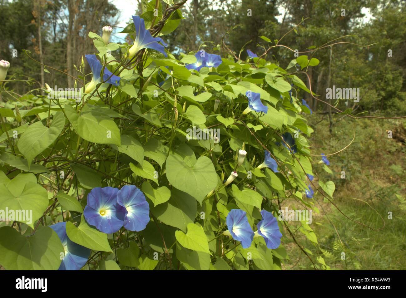 Blue Morning Glories Growing Wild In Northern Michigan - Stock Image