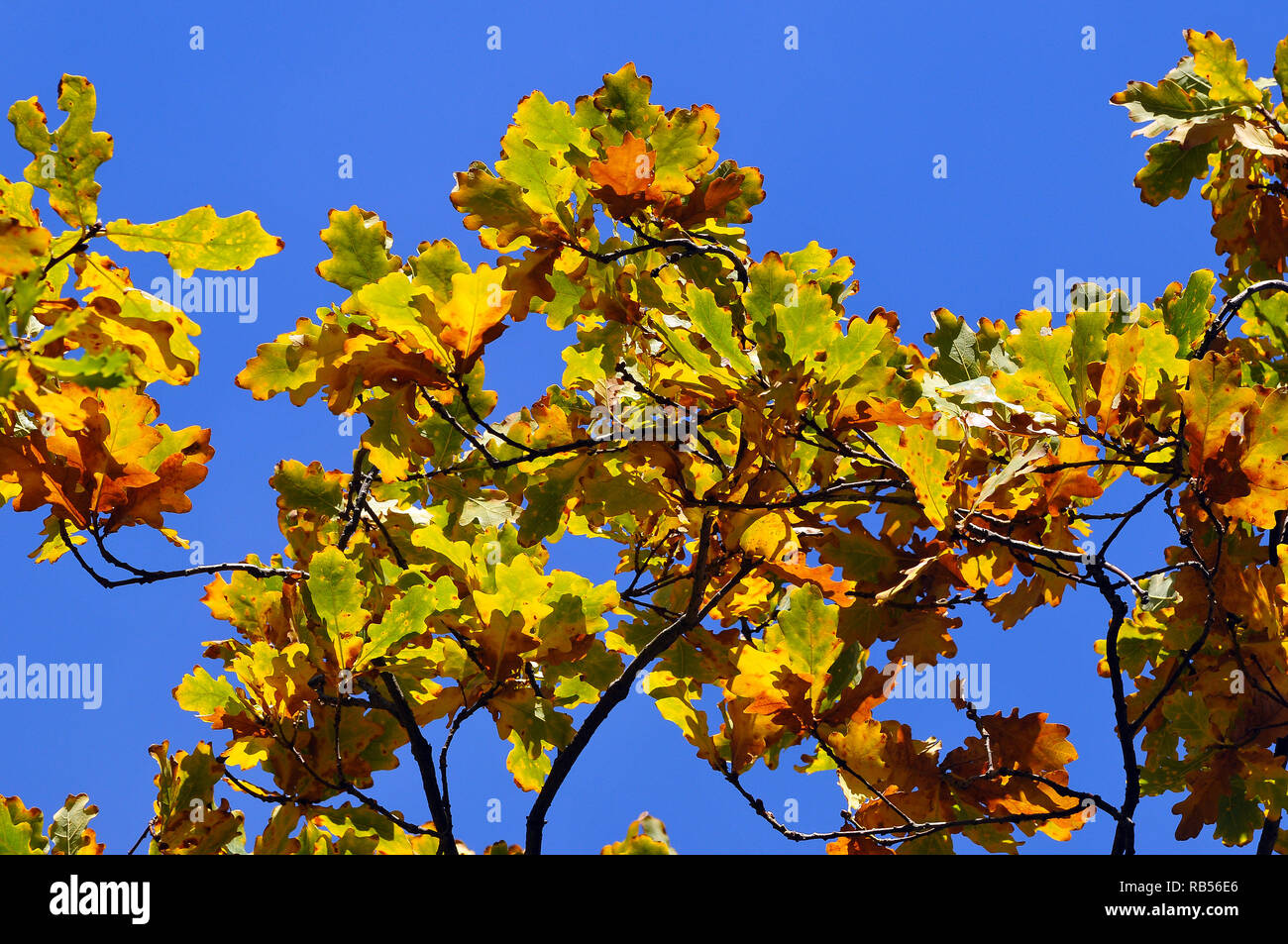 Yellowish oak leaves. Oak, Eichen, tölgy, Quercus sp. Stock Photo