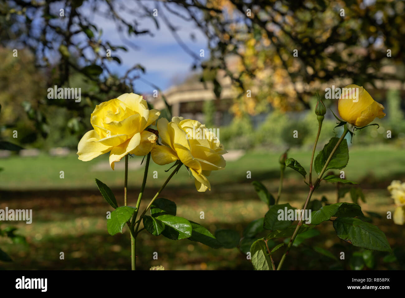 Beautiful sunlit autumn yellow Roses in the Valley Gardens,Harrogate,North Yorkshire,England,UK. - Stock Image