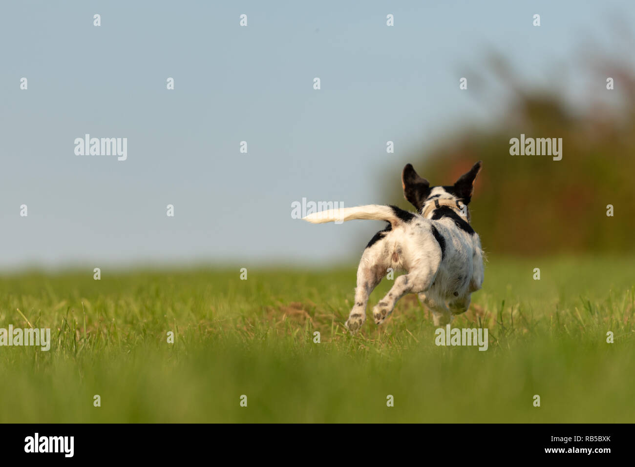 Jack Russell Terrier dog is running away over a green field. Cute runaway dog. - Stock Image