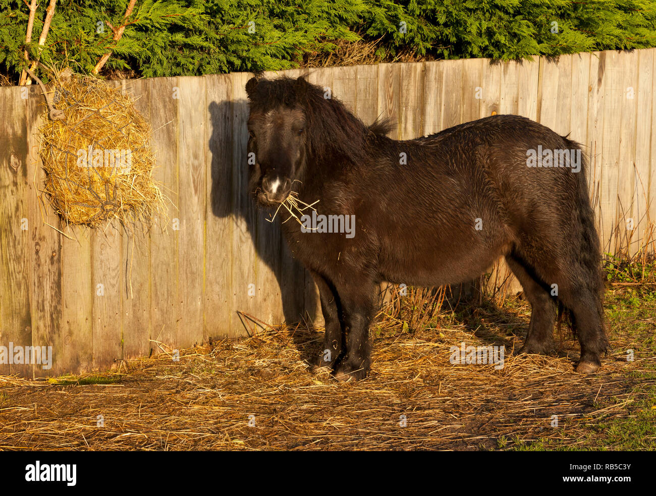 A black pony standing outdoors eating from a hay net - Stock Image