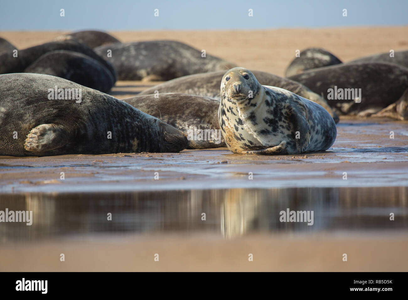Grey seal on Donna Nook beach in Lincolnshire, UK. Stock Photo