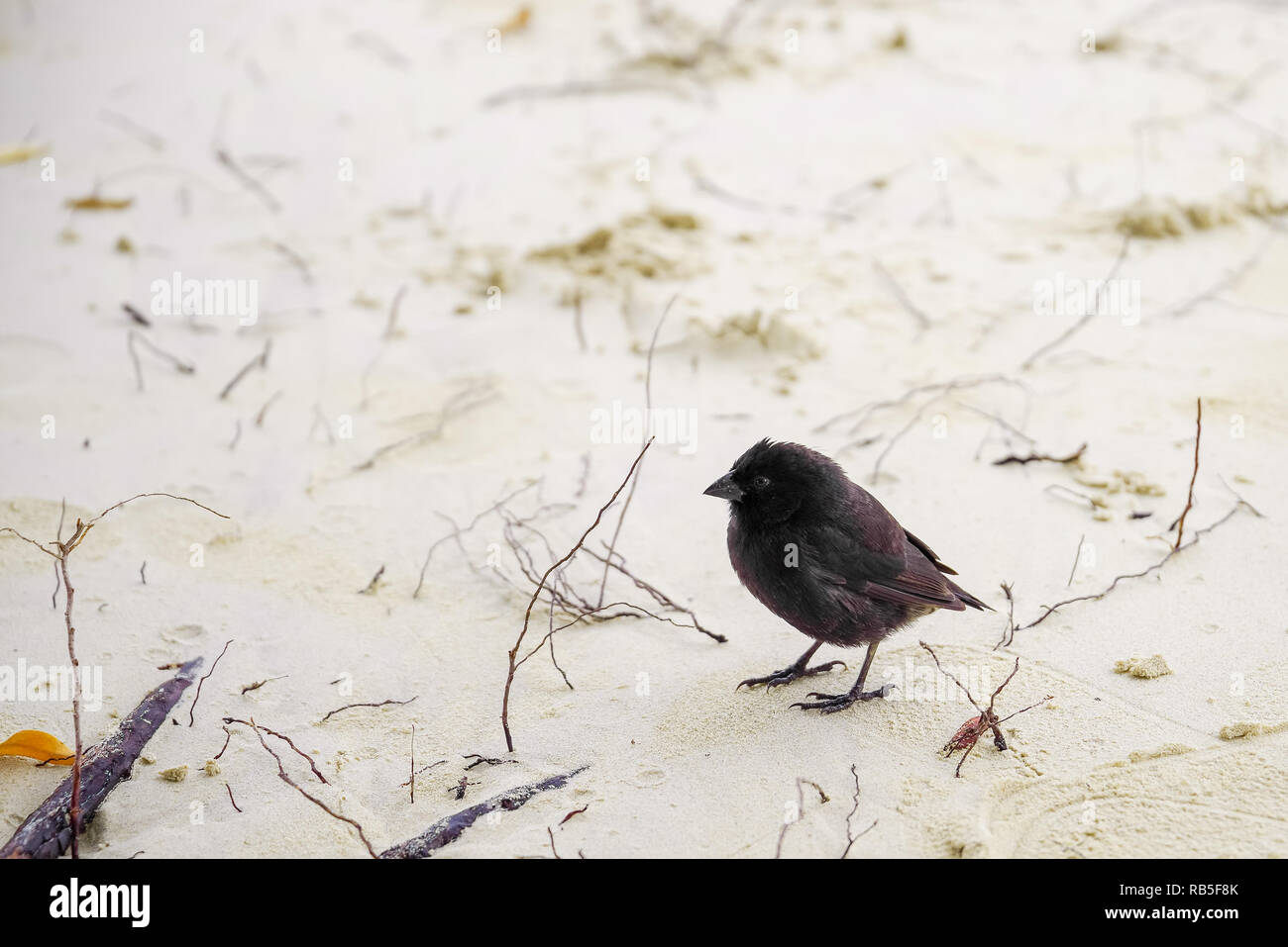 Galapagos Finch Geospiza fortis male perched on a white sand in Santa Cruz, Galapagos Islands - Stock Image