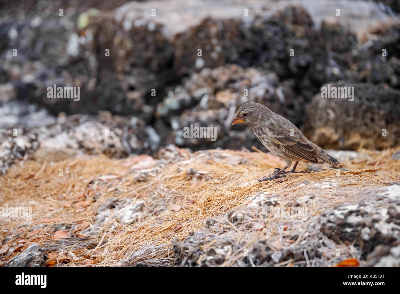 Galapagos Finch Geospiza fortis male perched on a rock in Santa Cruz, Galapagos Islands - Stock Image