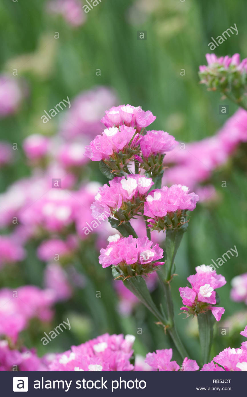 Limonium sinuatum 'Art Shades' flowers. Statice growing in a summer border. - Stock Image