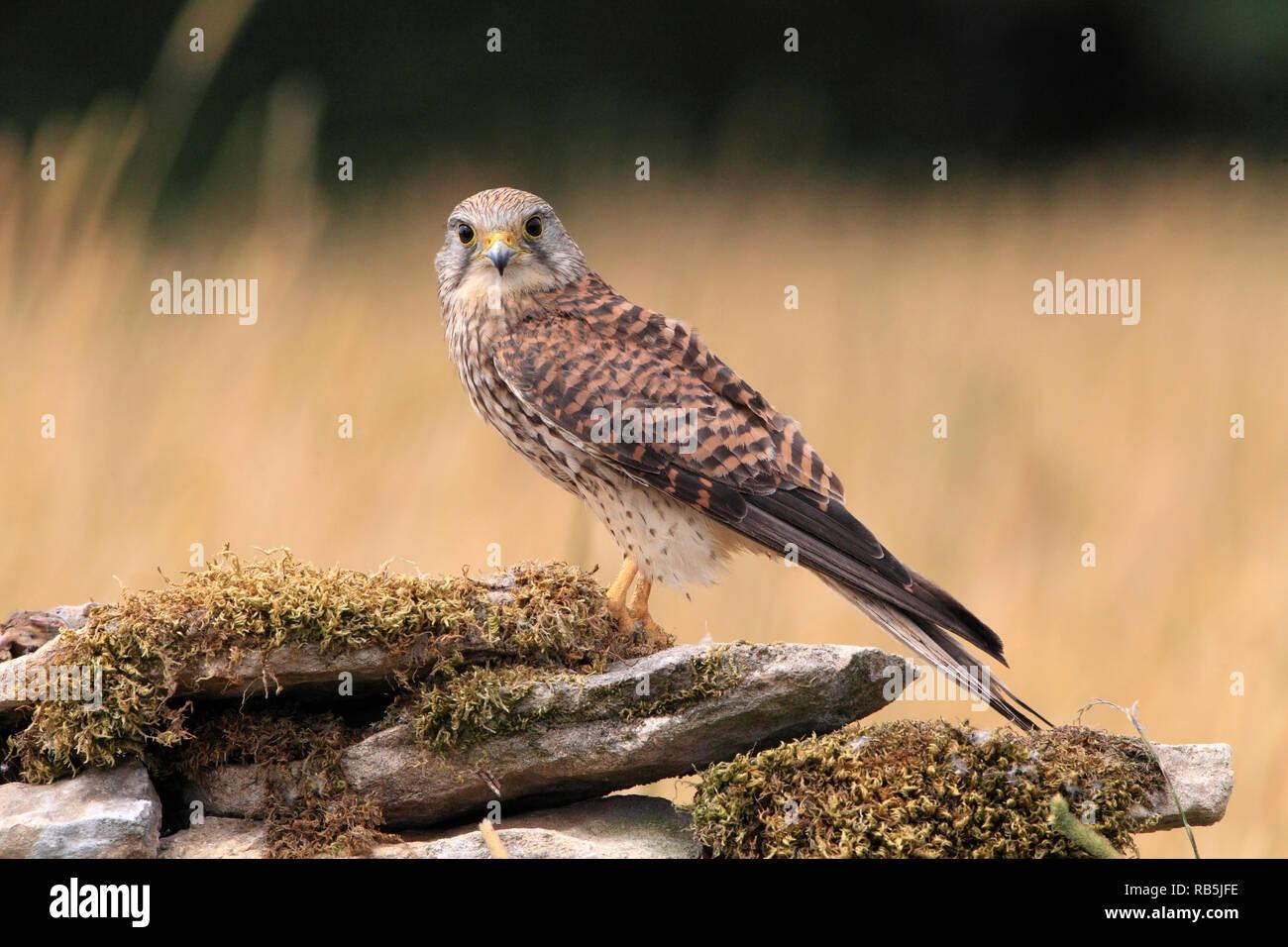 KESTREL (falco tinnunculus) female on a wall, UK. - Stock Image