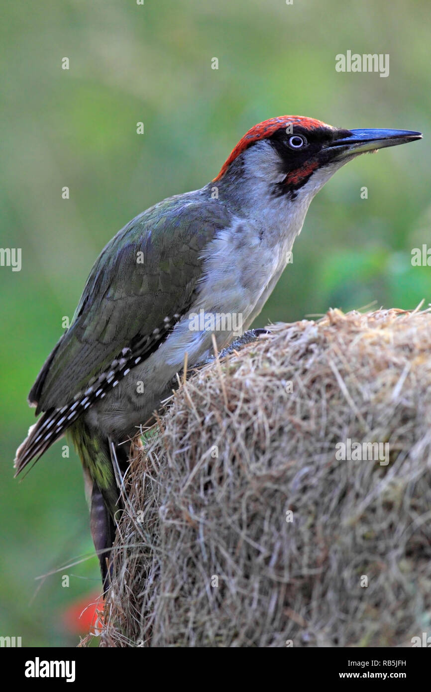 Green Woodpecker Picus Viridis Searching For Ants Uk