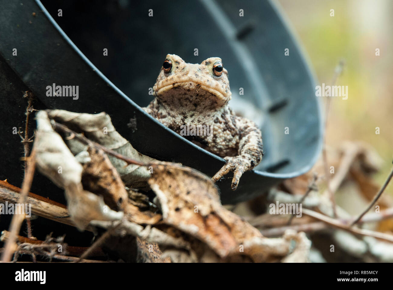 A common toad (bufo bufo) peering out of a plant pot among leaf litter, looking directly at the camera with golden eyes. - Stock Image