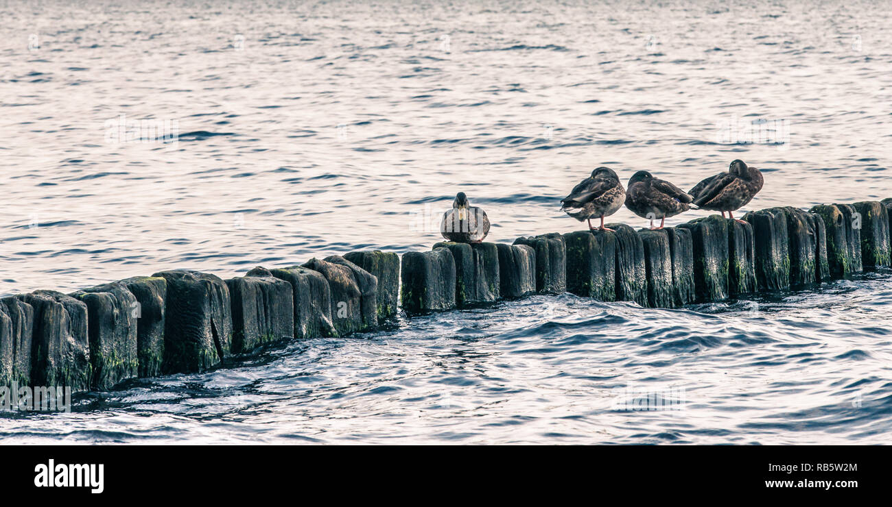 Ducks sitting on the pales at sea shore Stock Photo