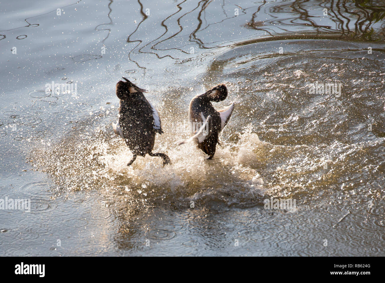 Great crested grebes (Podiceps cristatus) fighting in Het IJ river. Amsterdam, The Netherlands. - Stock Image