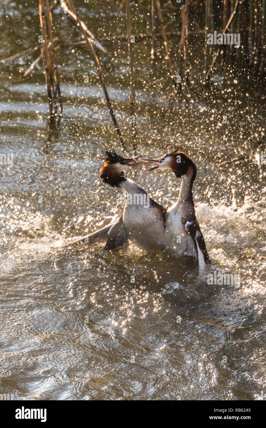 Great crested grebes (Podiceps cristatus) fighting in Het IJ river. Amsterdam, The Netherlands. Stock Photo