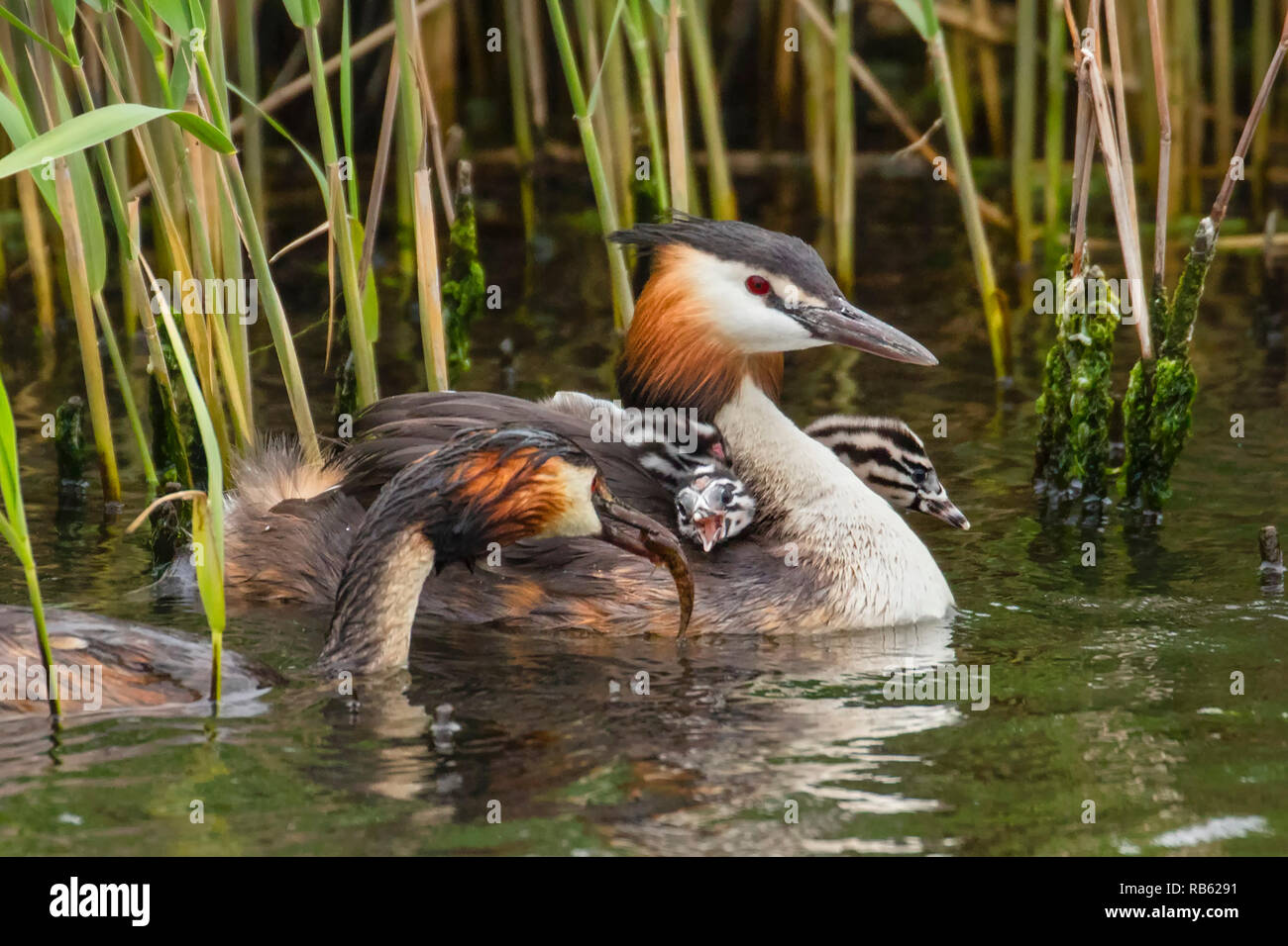 Great crested grebes (Podiceps cristatus) feeding young in IJ river. Amsterdam, The Netherlands. Stock Photo