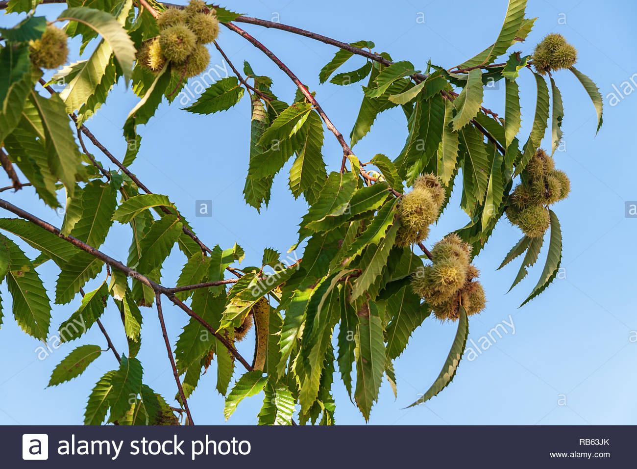 Chestnuts (Castanea sativa, Fagaceae), also known as sweet chestnuts, growing on the branches of a tree in the Southern Apennines in Italy. - Stock Image