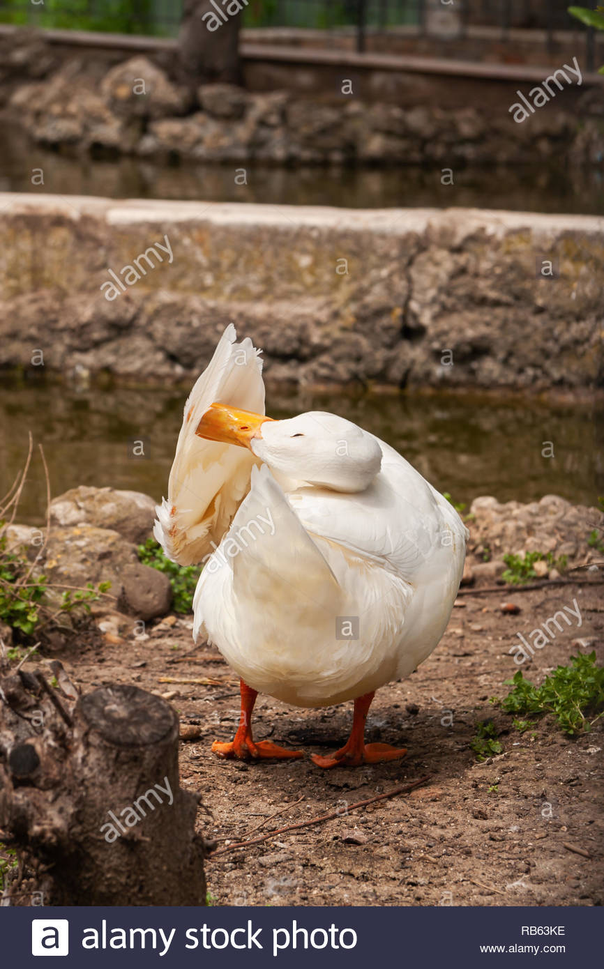 A white duck rotates its neck backwards to preen the feathers on its wing. - Stock Image