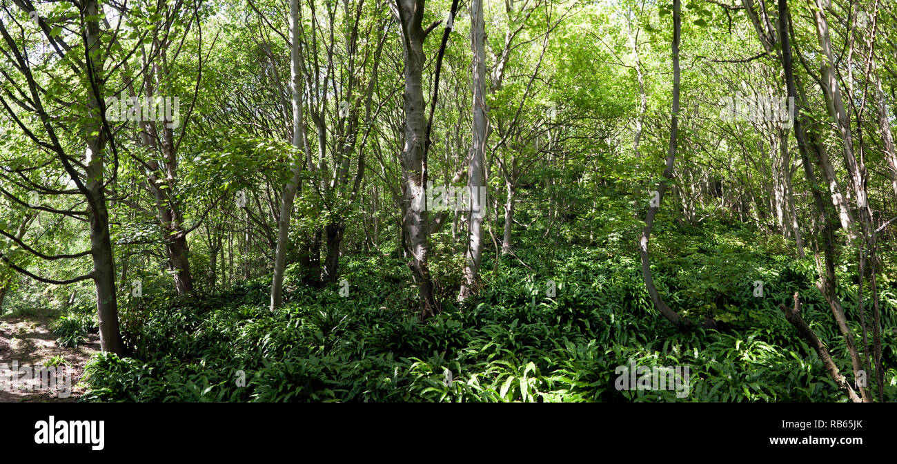 Panoramic view  of part of the wooded area in the Warren Country Park, below the East Cliffs, Capel-Le Fern, Folkstone, Kent. - Stock Image