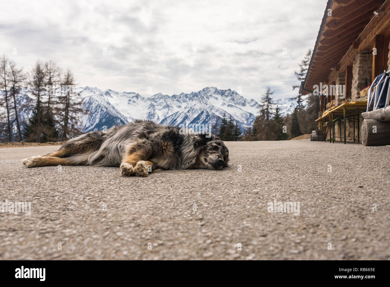 Dog guarding the Malga Stabli - ristorante bar in Ortisè, a small and picturesque village in Trento, Snow-capped mountains - Italian Alps,  Italy - Stock Image