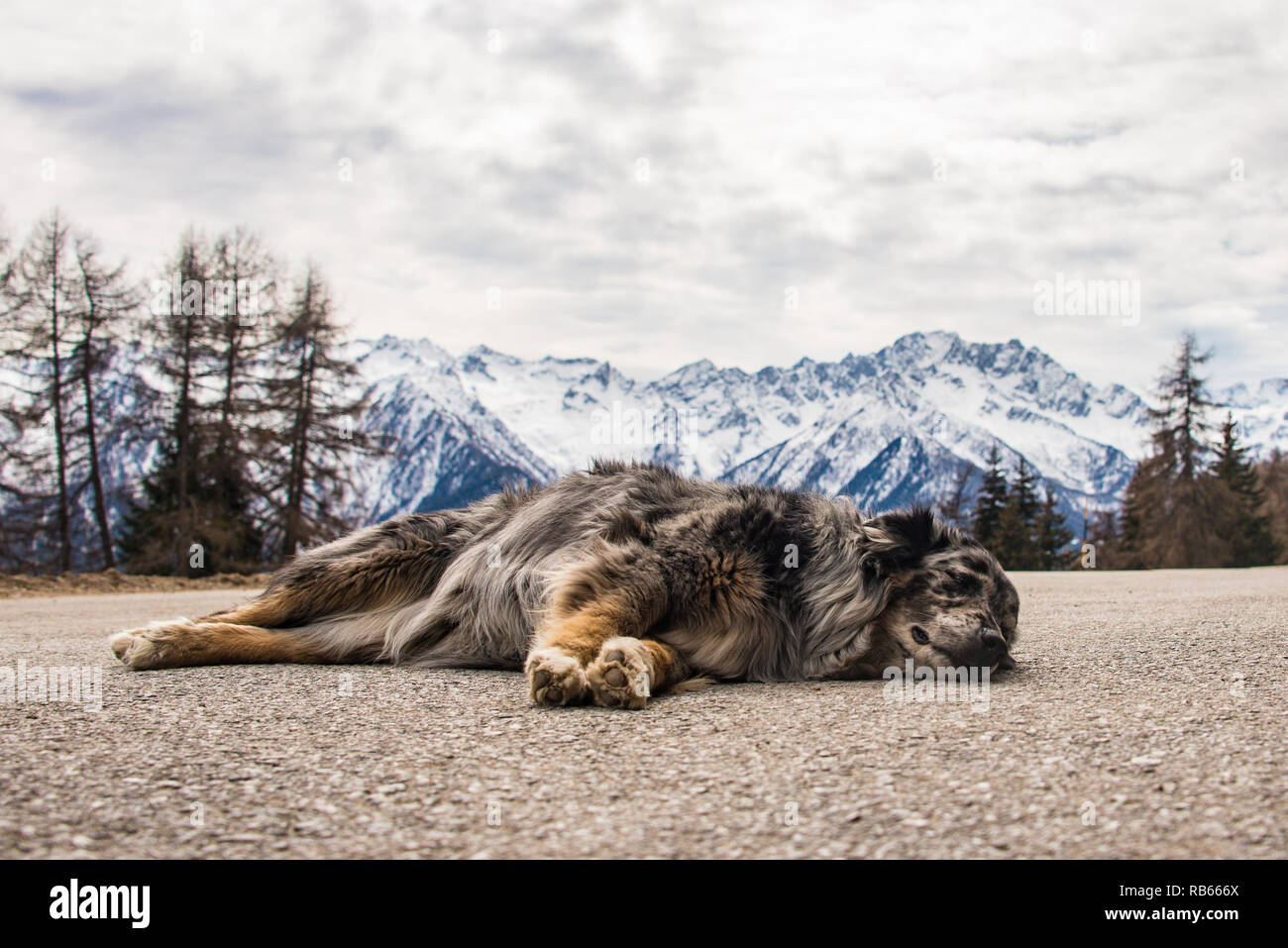 Dog sleeping on the asphalt road in Italian Alps - snow-capped mountains background. Ortisè, a small village, municipality of Mezzana, Trento Italy. - Stock Image