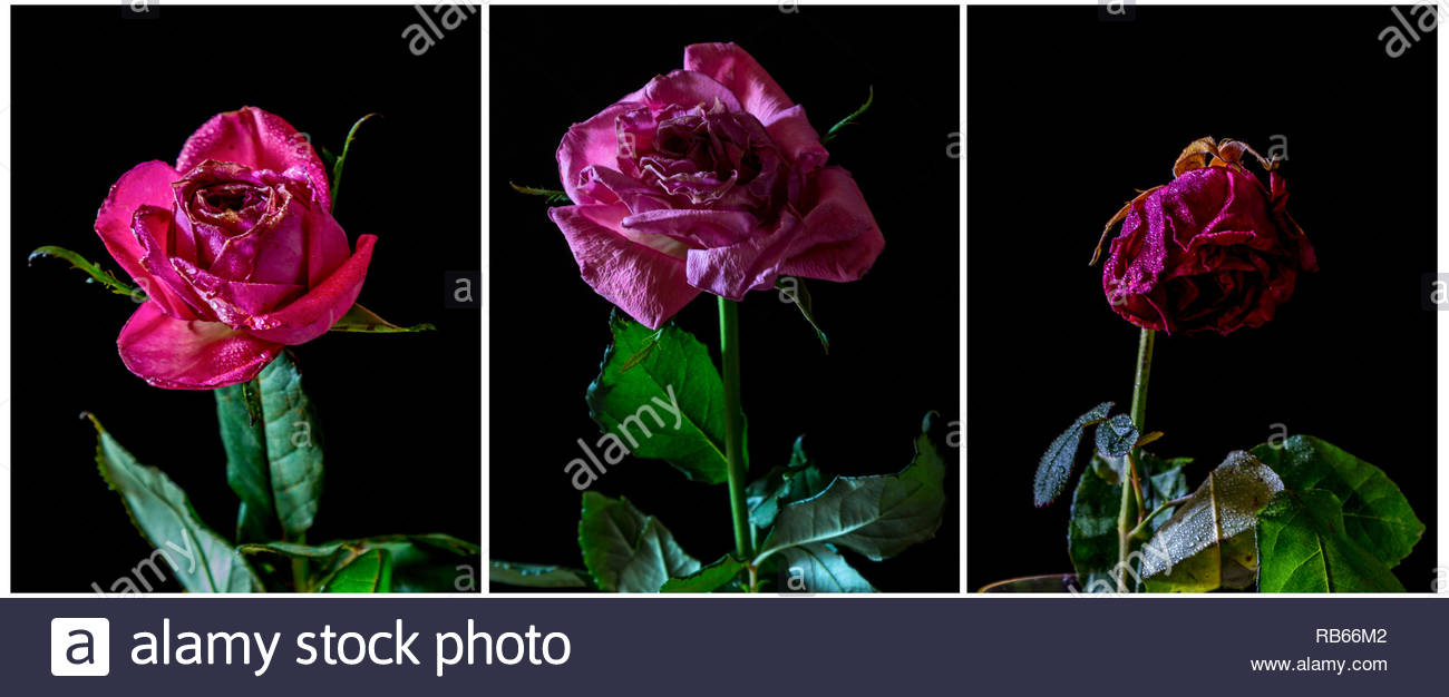 A a triptych of three images each showing a single wilting rose isolated on a black background lit by natural light. - Stock Image