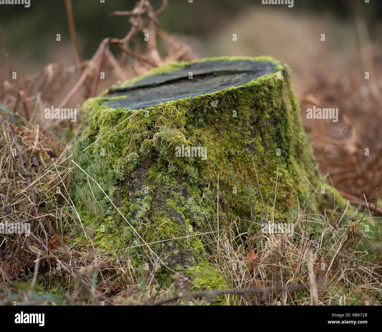 tree stump with moss - Stock Image