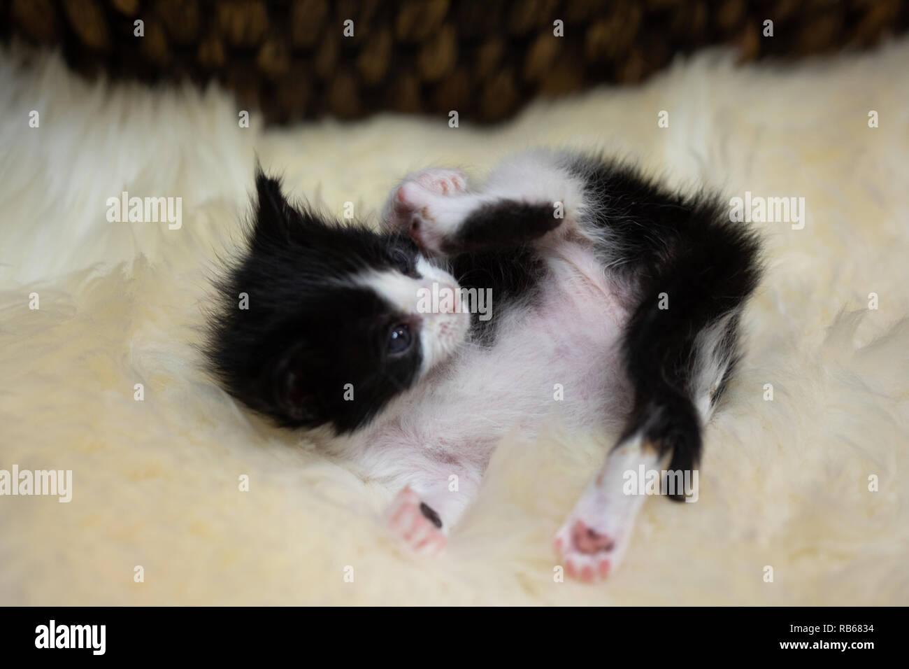 Tuxedo kitten - Stock Image