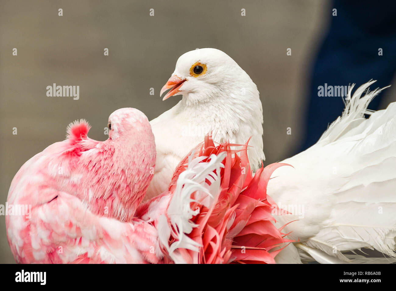Love Birds High Resolution Stock Photography And Images Alamy