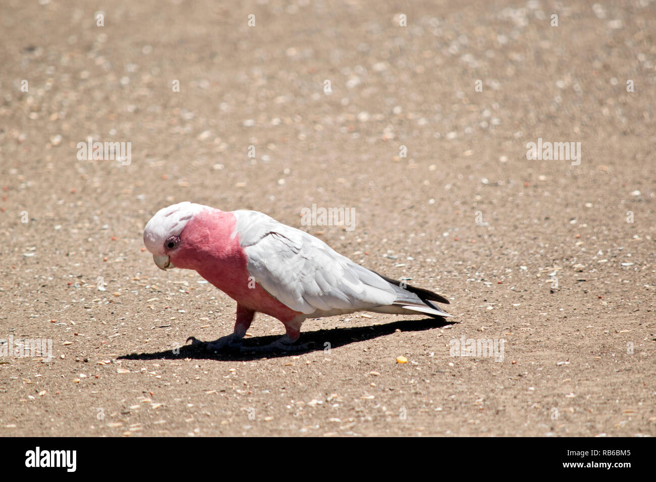 the galah is eating seeds off the ground - Stock Image