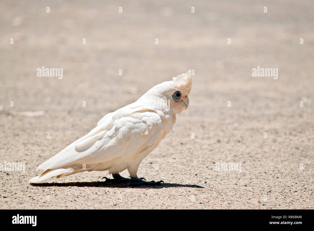 the little corella is eating seeds off the ground - Stock Image