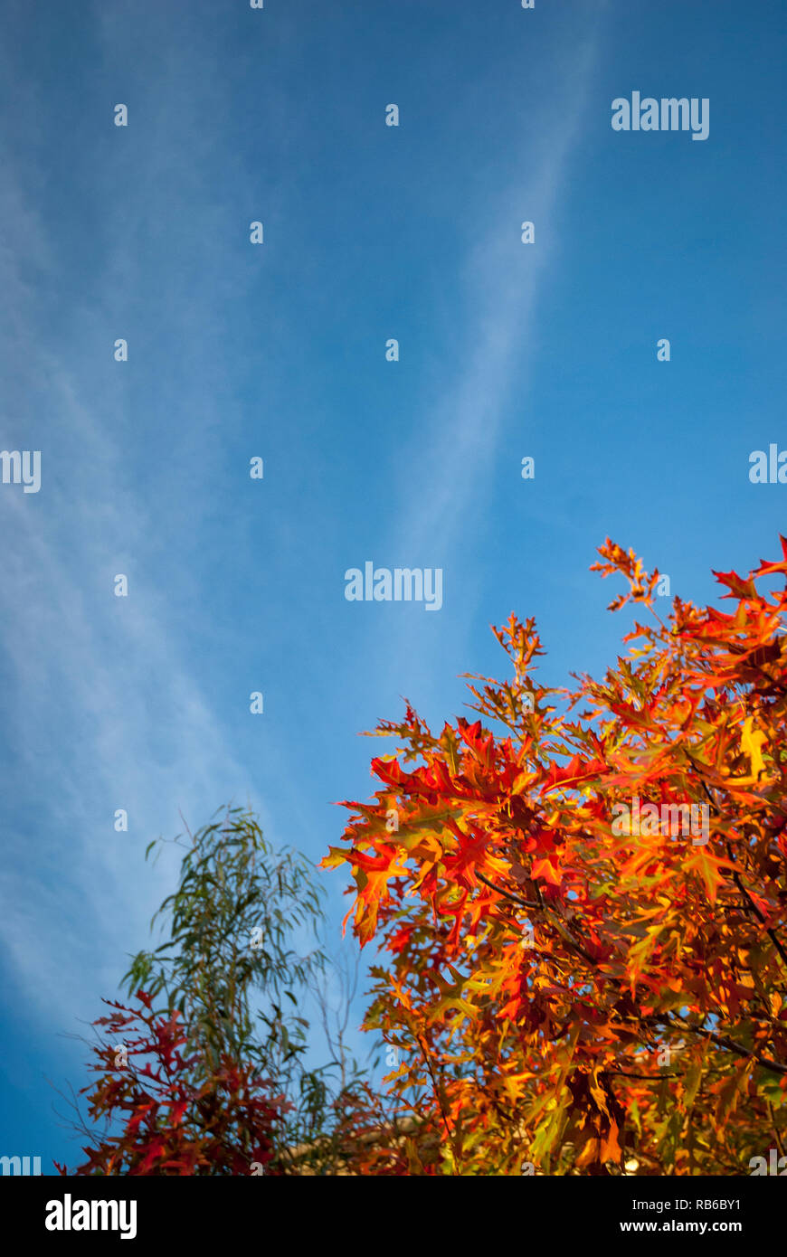 Orange autumn leaves of a Japanese maple against a blue sky with wispy clouds, vertical - Stock Image