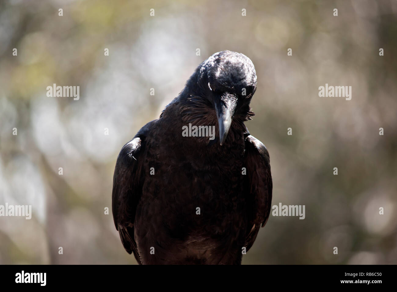 this is a close up of a raven - Stock Image