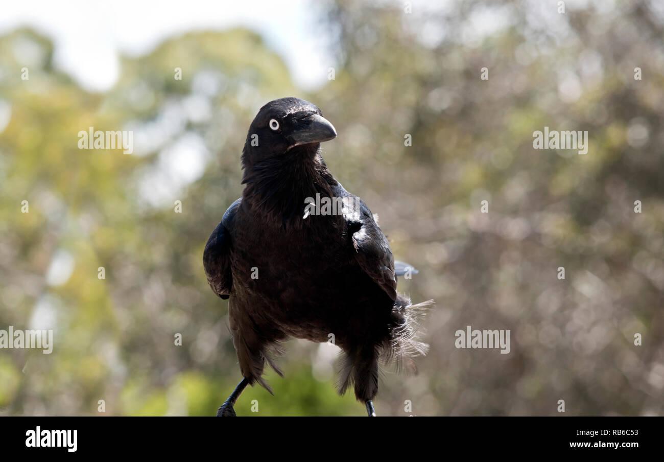 the Australian raven looks like a crow - Stock Image