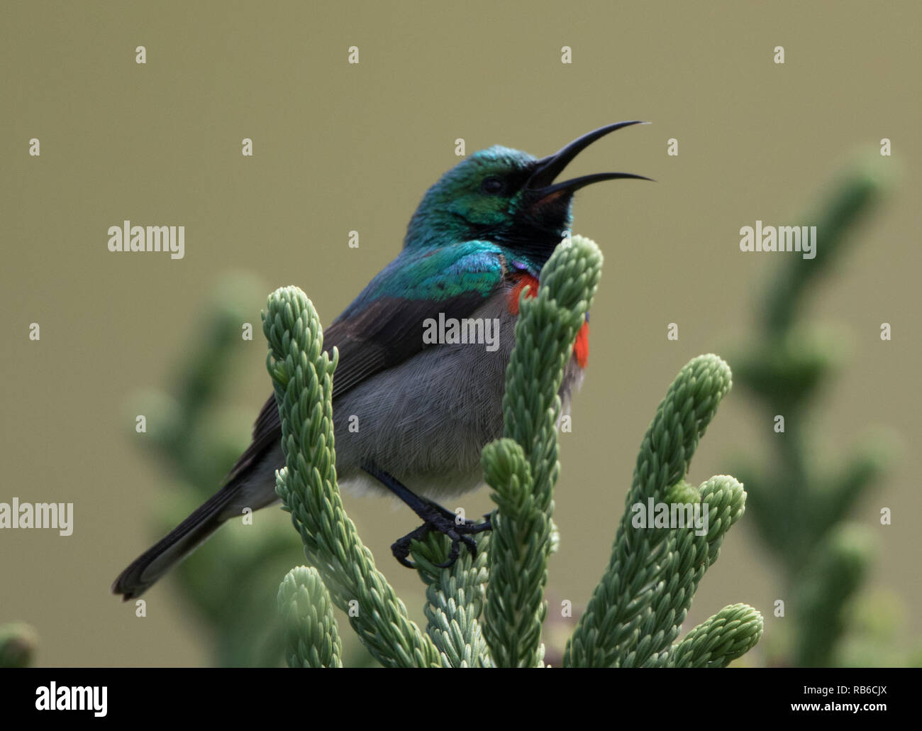 Southern Double-collared Sunbird (Cinnyris chalybeus) - Stock Image