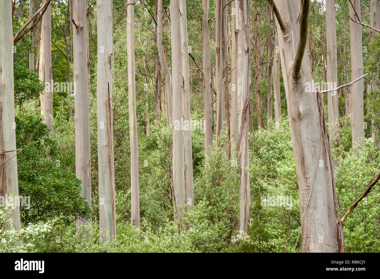 A stand of Australian gum trees - Stock Image