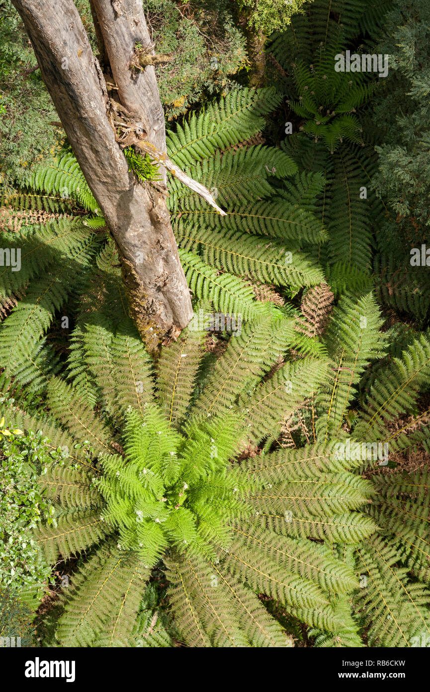 Tree trunk rising out of a fern forest, Otways Victoria Australia - Stock Image