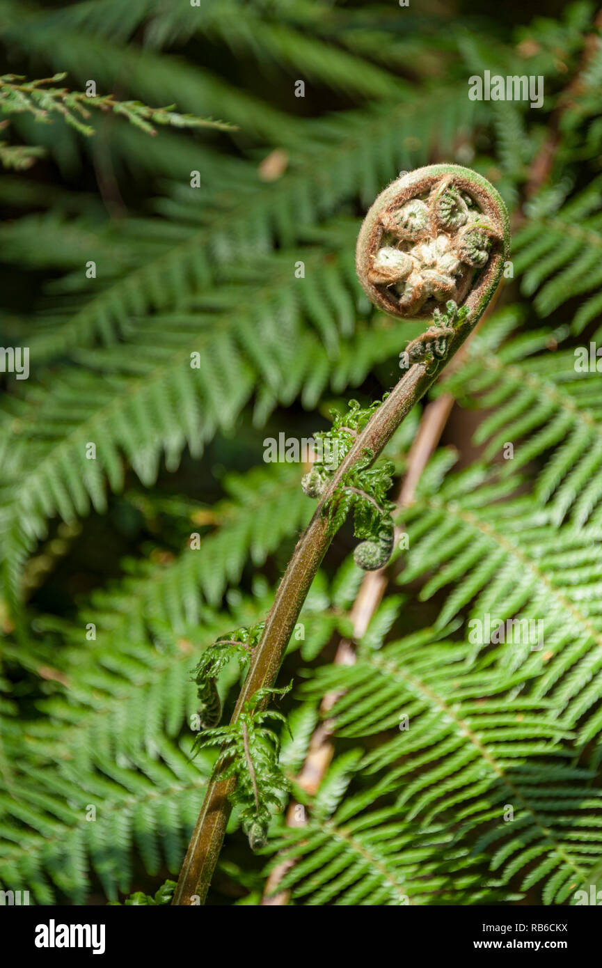 Fern unrolling a new frond in a fern forest in the Otways, Victoria Australia - Stock Image
